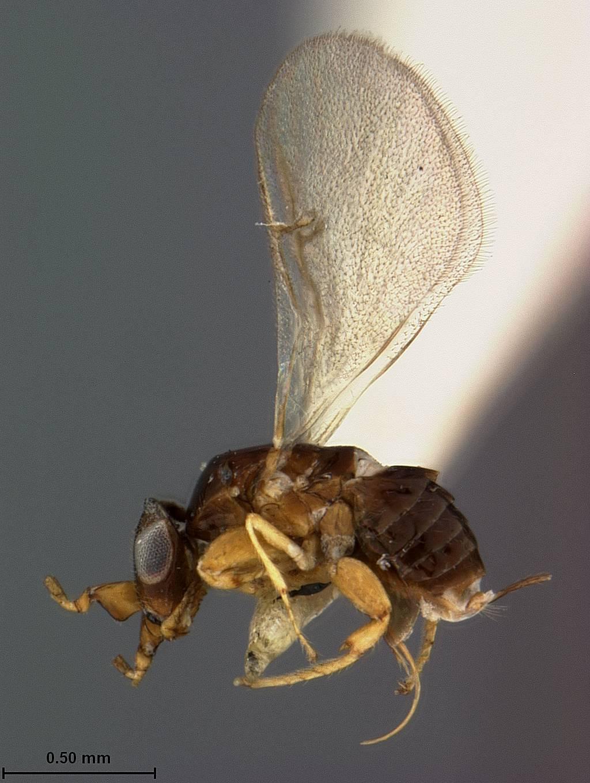 Image of <i>Kradibia brownii</i> Ashmead 1904