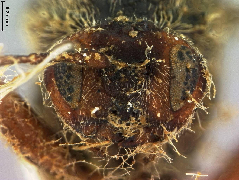 Image of <i>Callaspidia quercus-globulus</i> Fitch