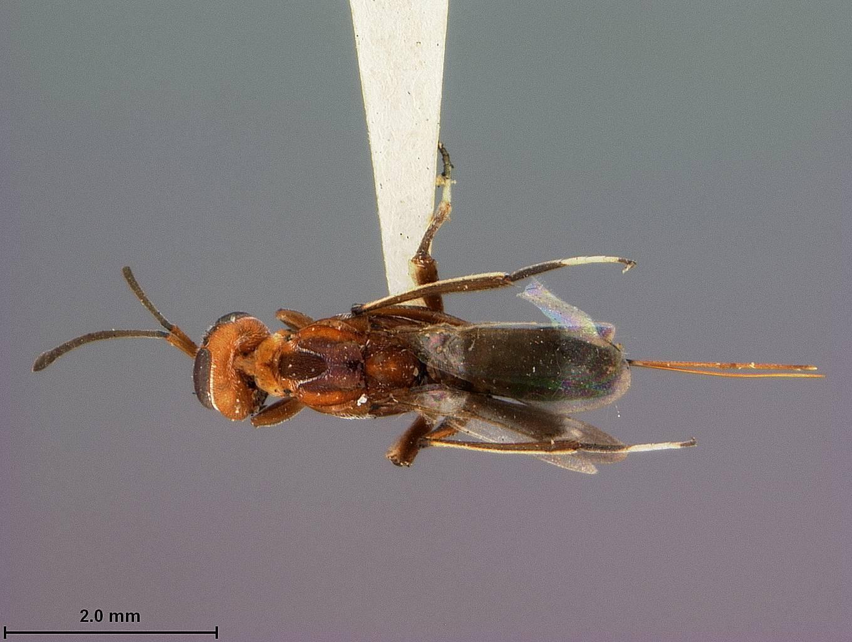 Image of <i>Tineobius californicus</i> Ashmead