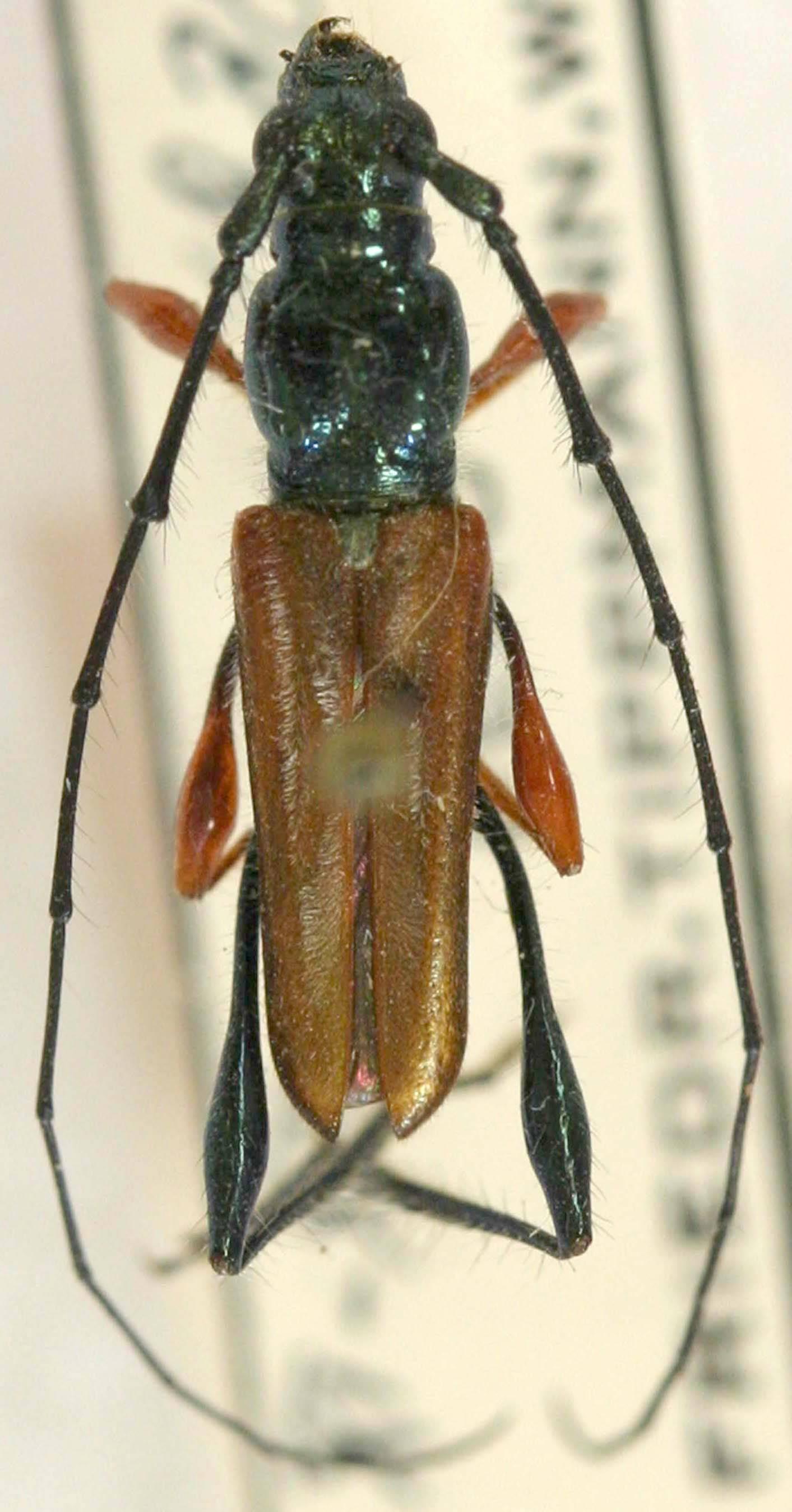 Image of <i>Closteropus herteli</i> Tippmann 1960