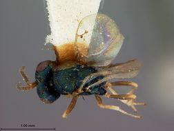 Image of <i>Megastigma canadensis</i> Ashmead