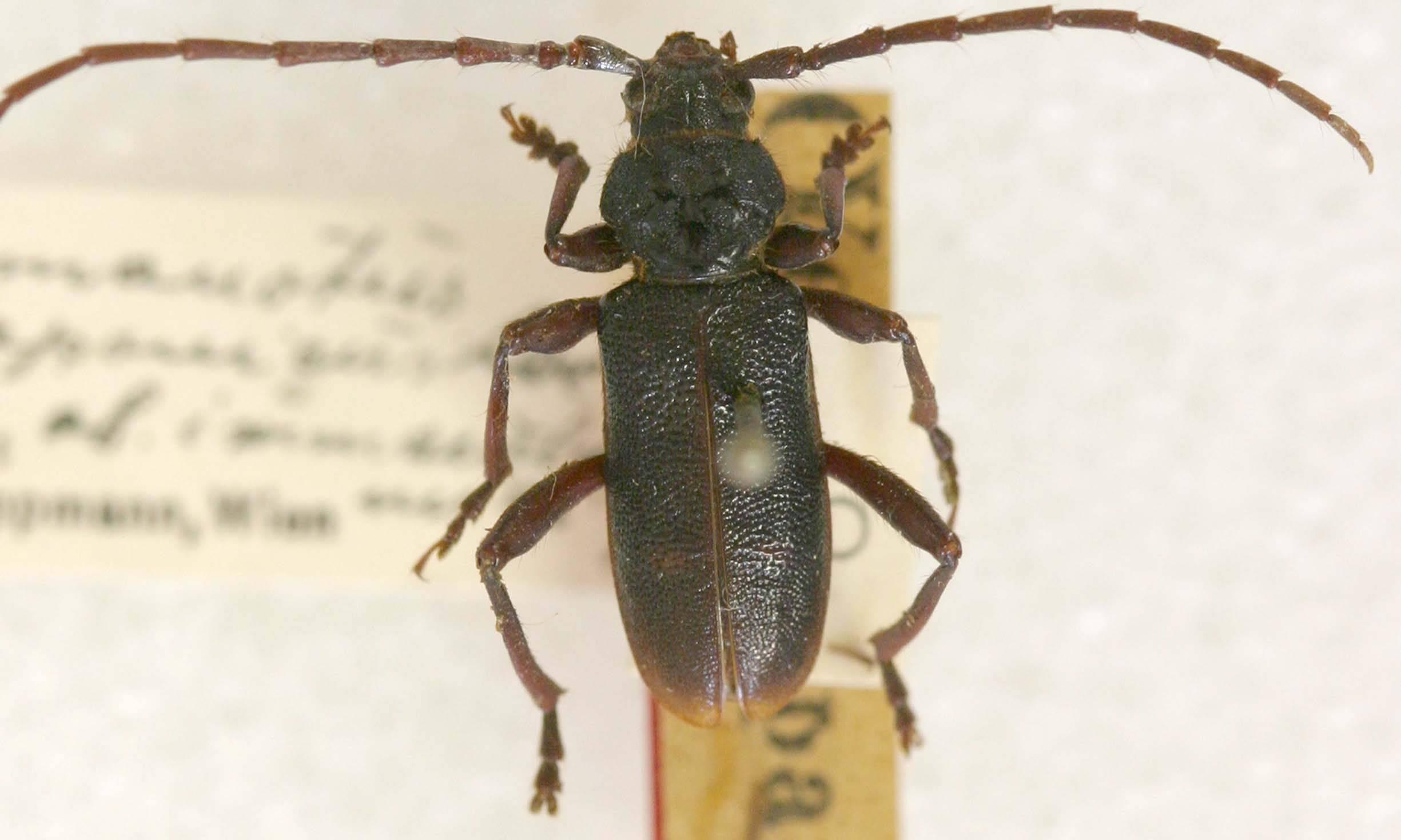 Image of <i>Semanotus japonicus</i> var. <i>immaculatus</i> Tippmann