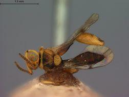 Image of <i>Spilochalis chapadae</i> Ashmead