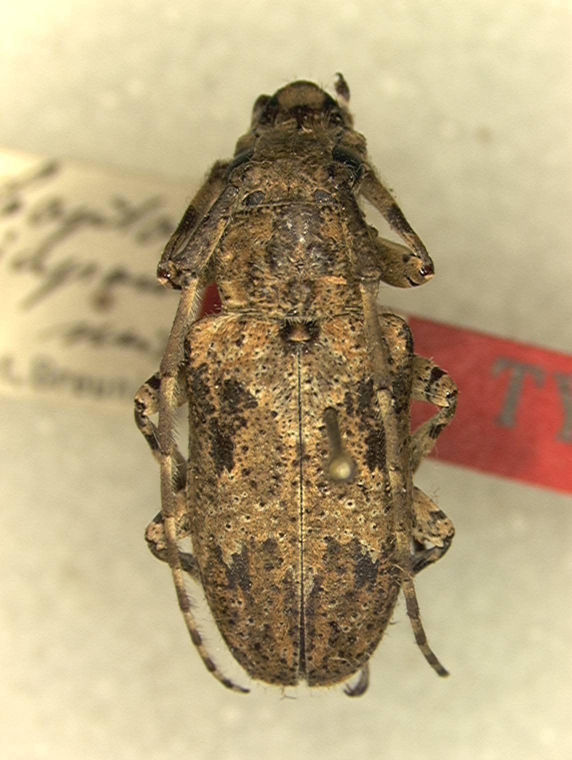 Image of <i>Coptops japonica</i> Breuning 1936