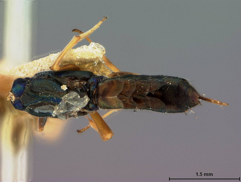 Image of <i>Eupelmus cleri</i> Ashmead
