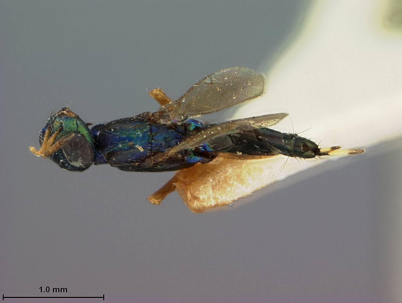 Image of <i>Eupelmus compressiventris</i> Ashmead 1904