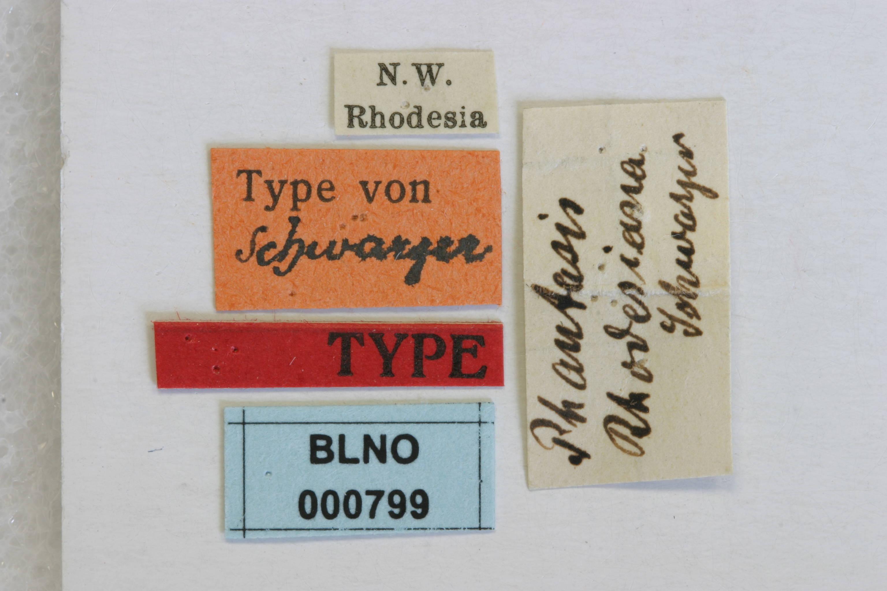 Image of <i>Phantasis rhodesiana</i> Schwarzer