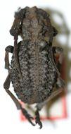 Image of <i>Phantasis zorgoides</i> Schwarzer