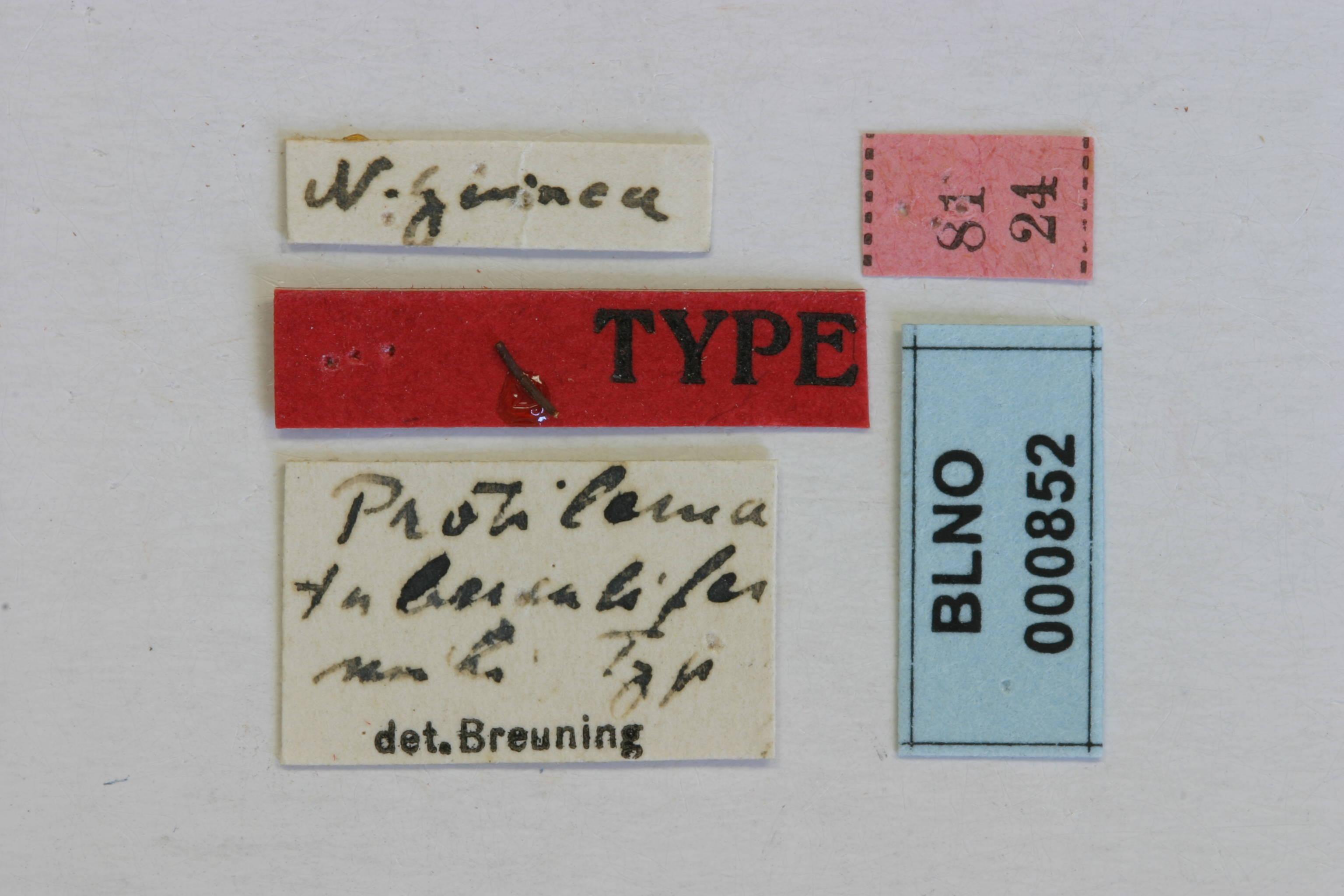 Image of <i>Protilema tuberculifera</i> Breuning