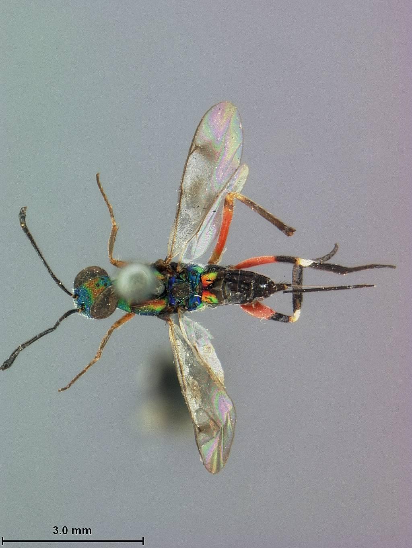 Image of <i>Metapelma cubensis</i> Ashmead