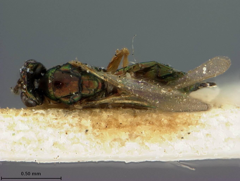 Image of <i>Terastichus cupreus</i> Ashmead