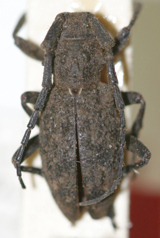Image of <i>Parabrimidius ovalis</i> Breuning 1938