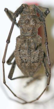 Image of <i>Parechthistatus chinensis</i> Breuning 1942