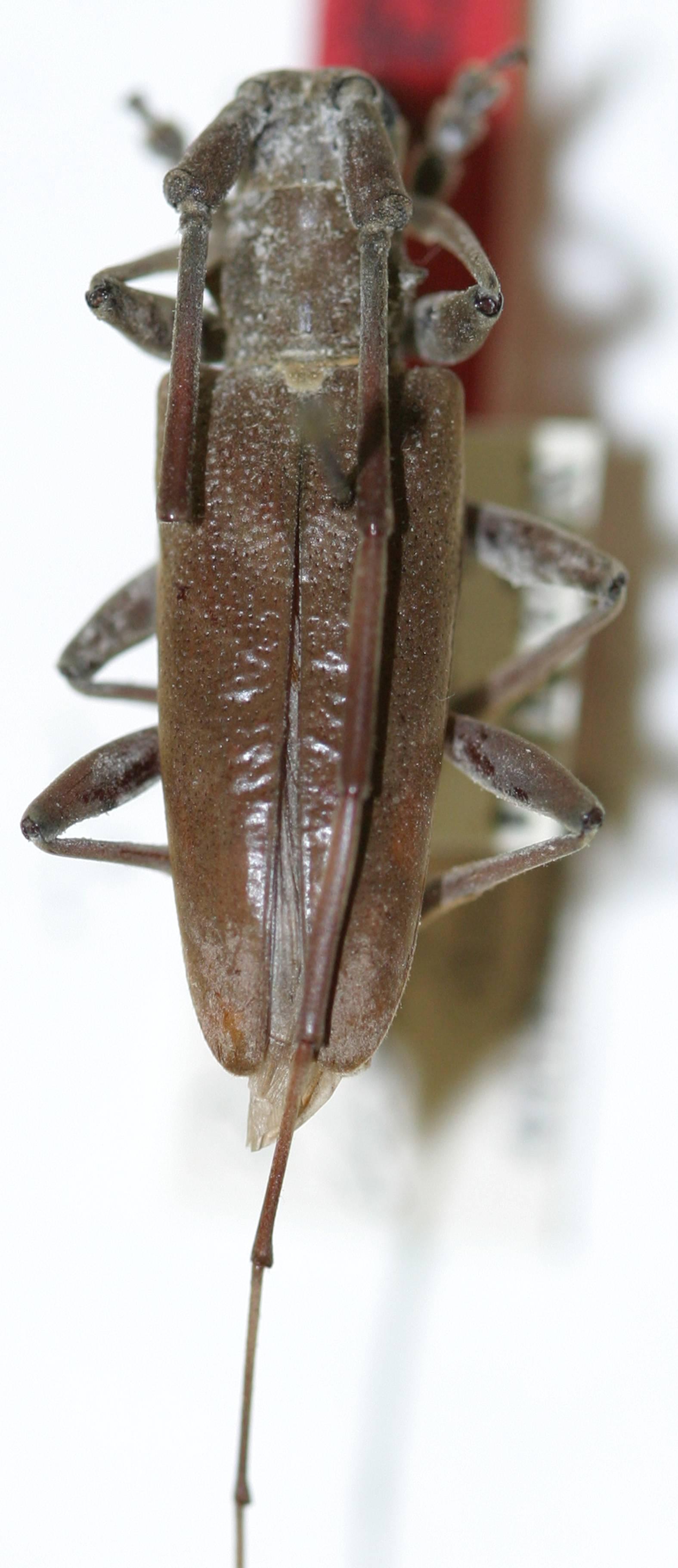 Image of <i>Acalolepta elongata</i> (Breuning 1935)