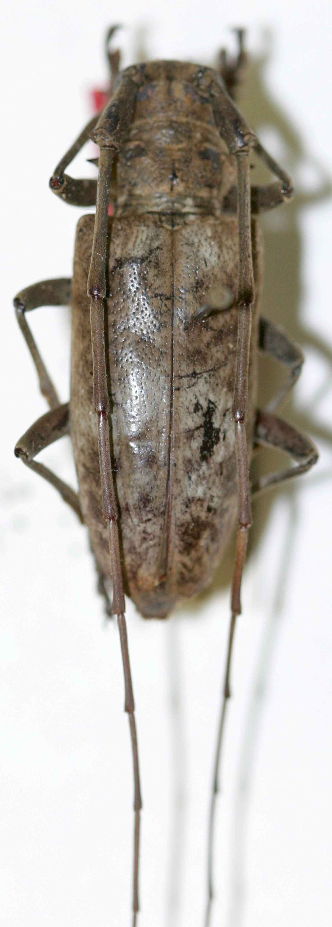 Image of <i>Acalolepta griseofasciata</i> (Breuning 1935)