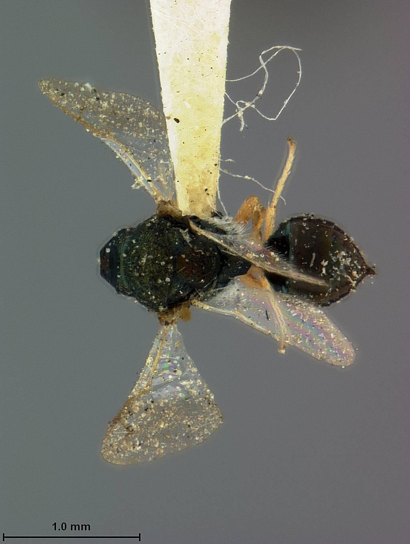 Image of <i>Crytogaster dineutis</i> Ashmead