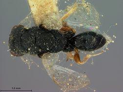 Image of <i>Eurytoma dorcaschemae</i> Ashmead 1888