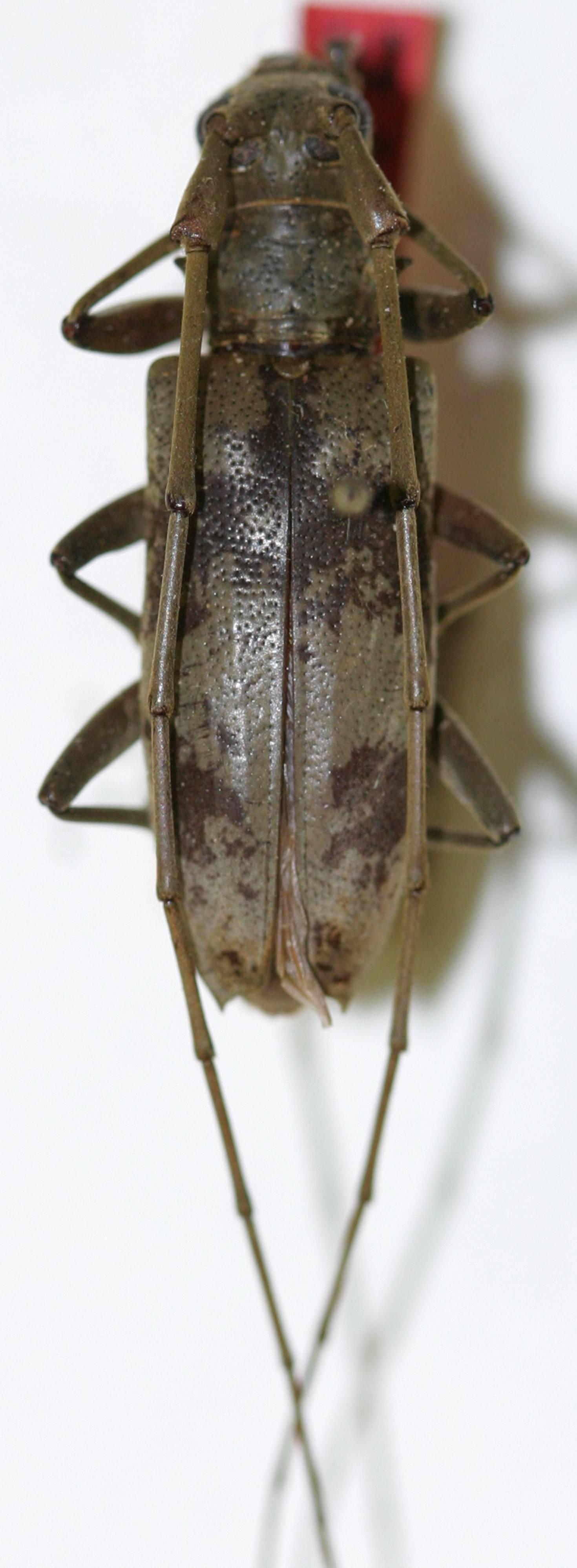 Image of <i>Acalolepta salomonum</i> (Breuning 1938)