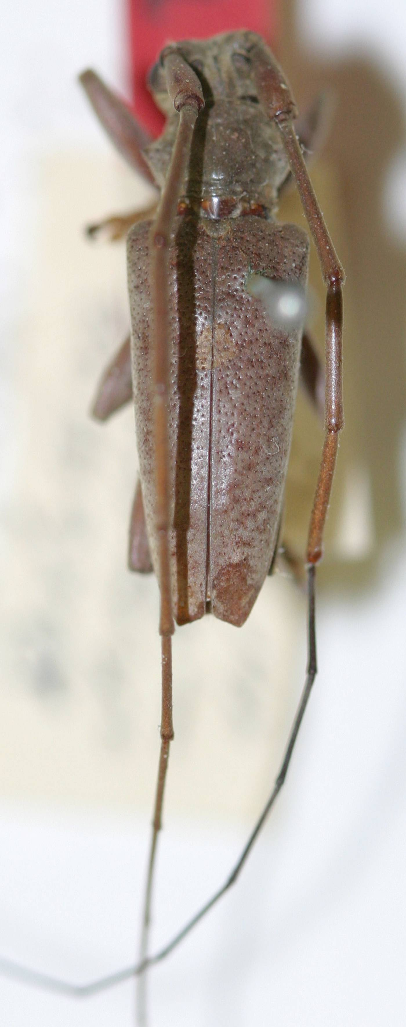 Image of <i>Acalolepta strandiella</i> (Breuning 1935)