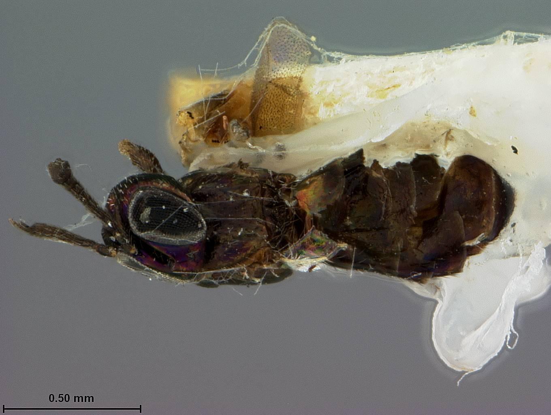 Image of <i>Eupelmus dryophantae</i> Ashmead 1886