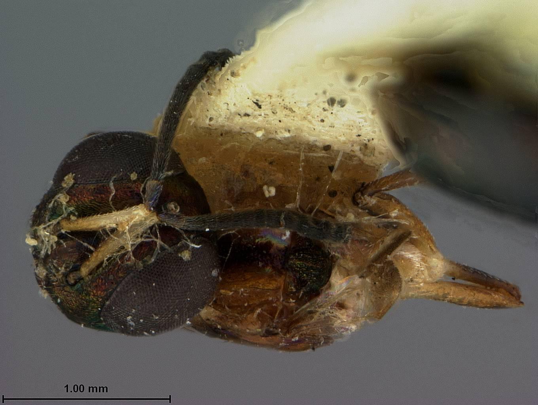 Image of <i>Eupelmus dryorhizoxeni</i> Ashmead 1886