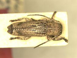 Image of <i>Adetus subcostatus</i> Aurivillius 1900