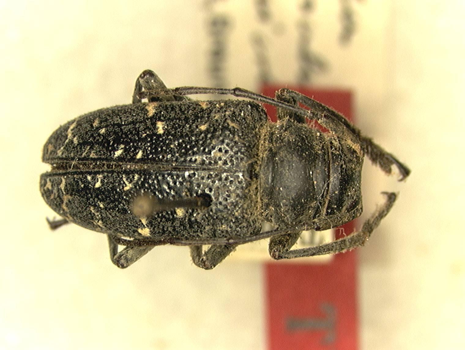 Image of <i>Frea basalis</i> ssp. <i>unicolor</i> Breuning