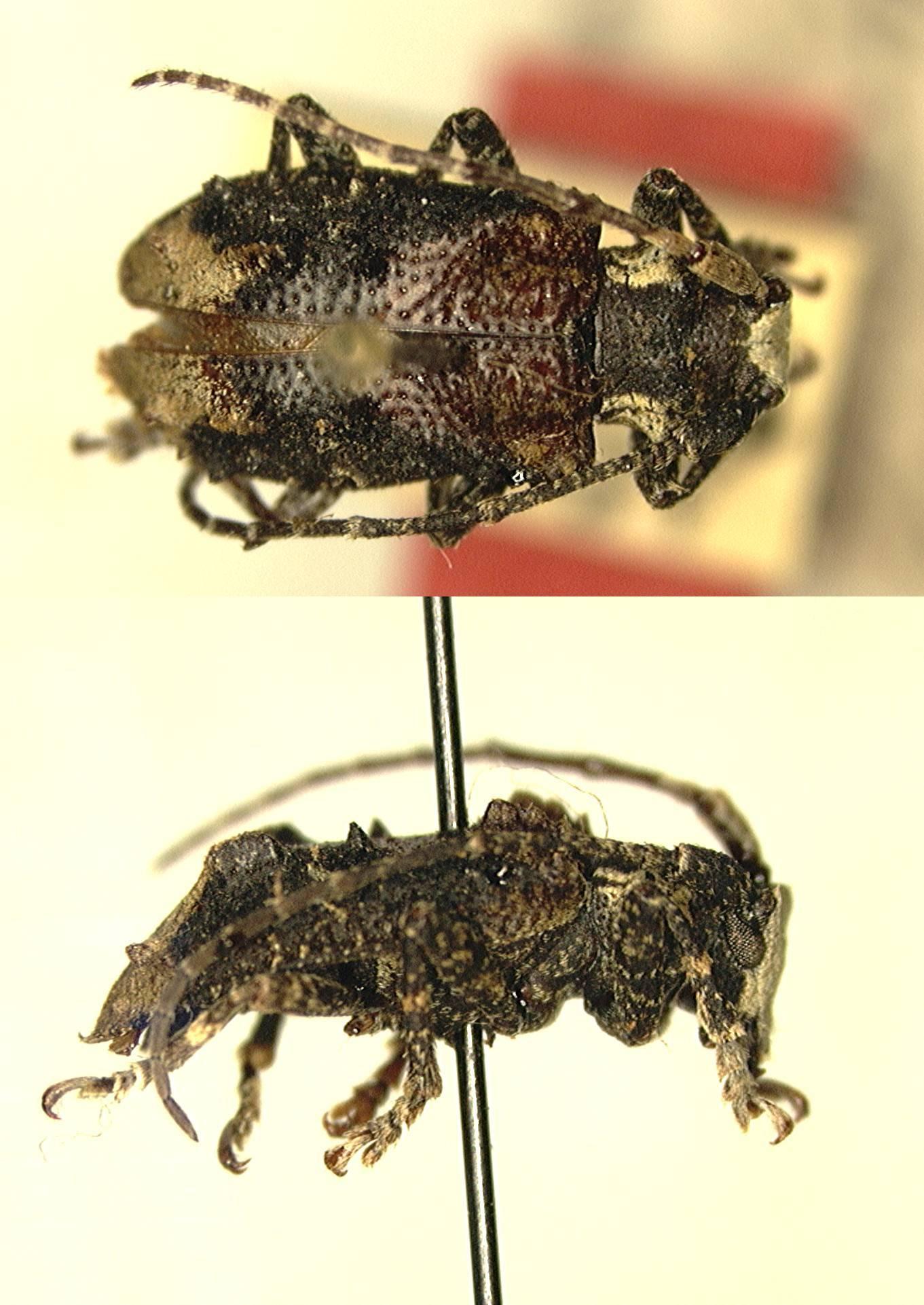 Image of <i>Mimocorus quadricristatus</i> Breuning 1942