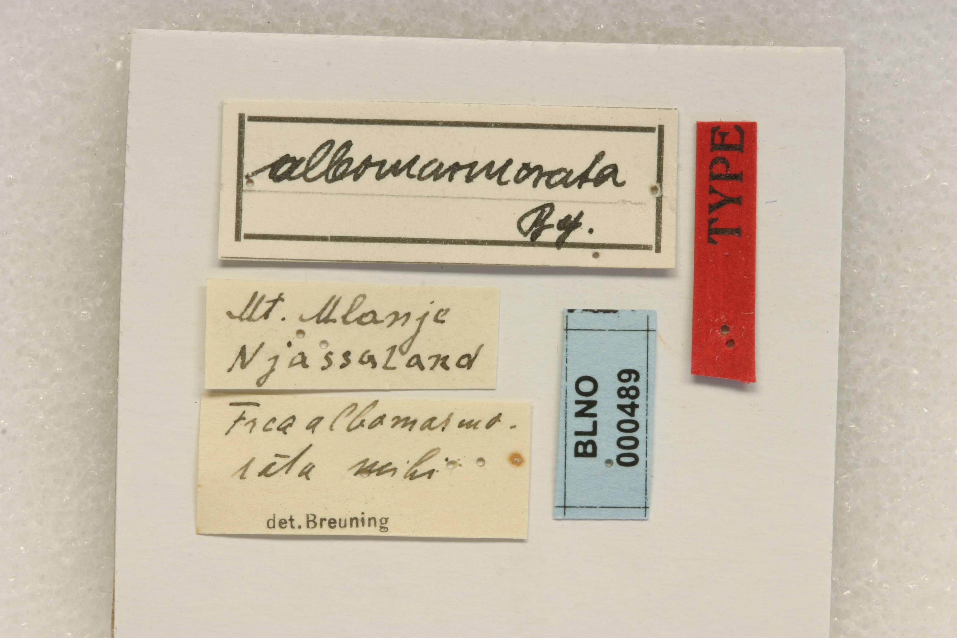 Image of <i>Frea albomarmorata</i> Breuning 1935