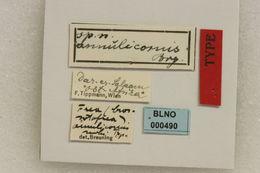 Image of <i>Frea</i> (<i>Crossotofrea</i>) <i>annulicornis</i> Breuning 1942
