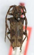 Image of <i>Baraeus orientalis</i> Aurivillius 1907
