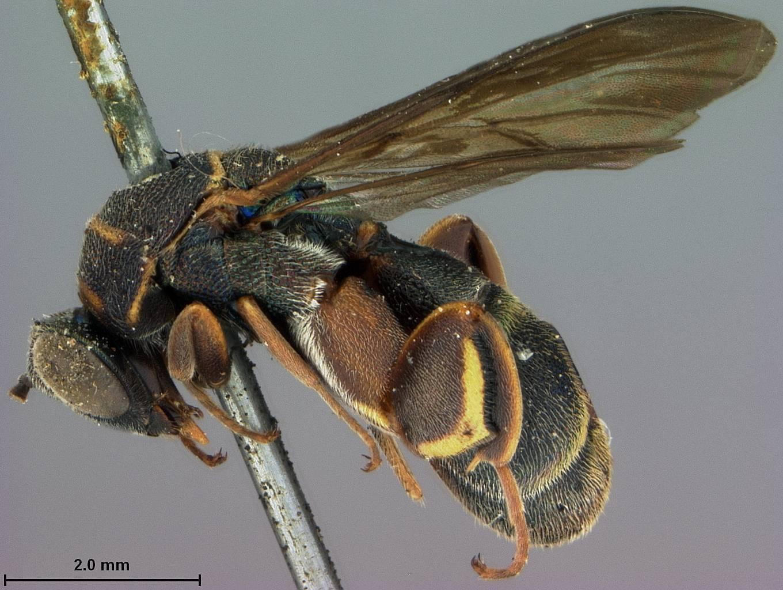 Image of <i>Leucospis enderleini</i> Ashmead 1904