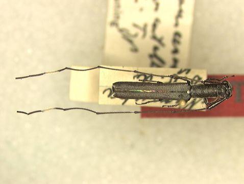 Image of <i>Anauxesis alboscutellatus</i> Breuning