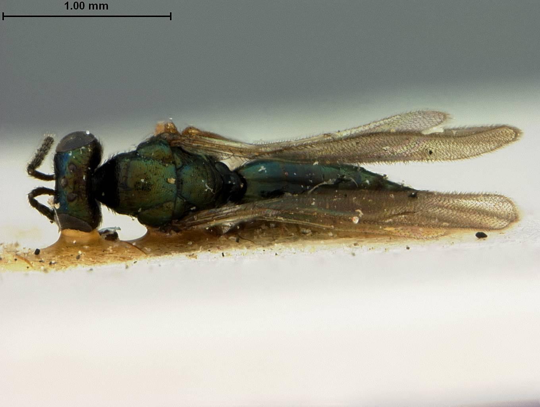 Image of <i>Toxeuma ferrugineipes</i> Ashmead 1901