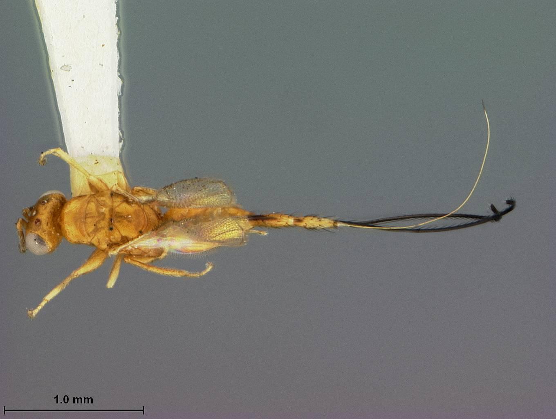 Image of <i>Philotrypesis ficicola</i> Ashmead 1905