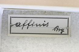 Image of <i>Olenecamptus affinis</i> Breuning 1936