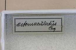 Image of <i>Olenecamptus octomaculatus</i> Breuning 1940