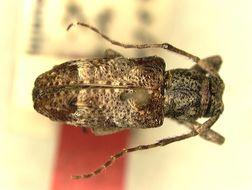 Image of <i>Pterolophia lama</i> Breuning 1943
