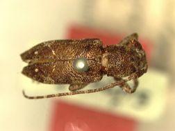 Image of <i>Pterolophia tubericollis</i> Breuning 1938