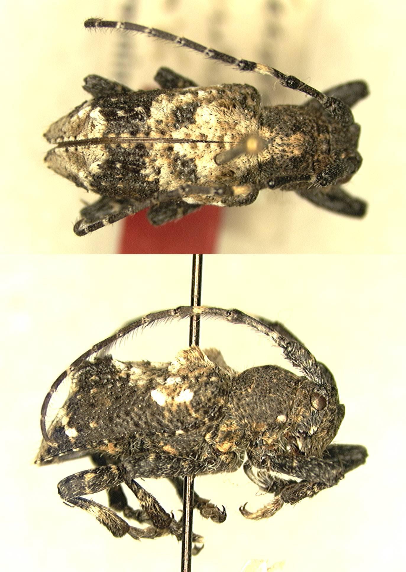 Image of <i>Pterolophia</i> (<i>Ale</i>) <i>bicristulata</i> Breuning 1940