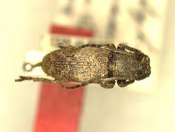 Image of <i>Pterolophia</i> (<i>Ale</i>) <i>palawanica</i> Breuning 1938