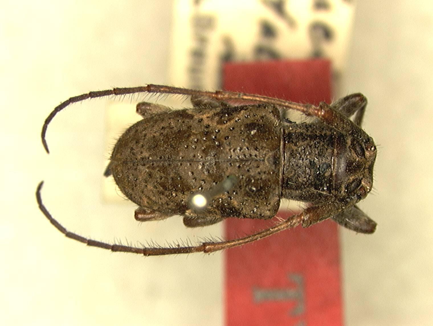 Image of <i>Cacia</i> (<i>Ipocregyes</i>) <i>bituberosa</i> Breuning 1935
