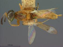 Image of <i>Eupelmus flavovariegatus</i> Ashmead 1888