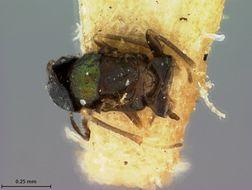 Image of <i>Barecyntus floridanus</i> Ashmead