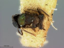 Image de <i>Barecyntus floridanus</i> Ashmead