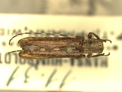 Image of <i>Dolichosybra annulicornis</i> Breuning 1942