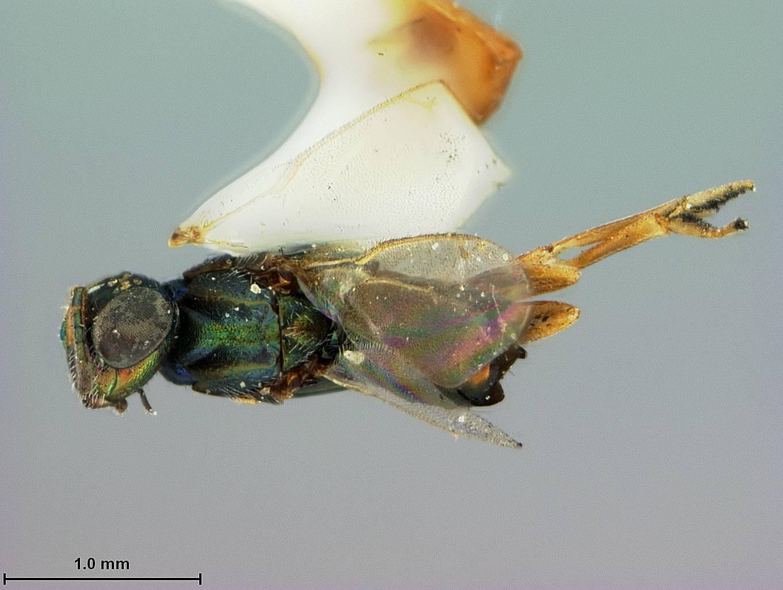 Image of <i>Eupelmus formosae</i> Ashmead 1904
