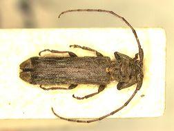 Image of <i>Dolichosybra tubericollis</i> Breuning 1942