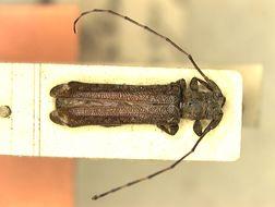 Image of <i>Dolichosybra elongata</i> Breuning 1942