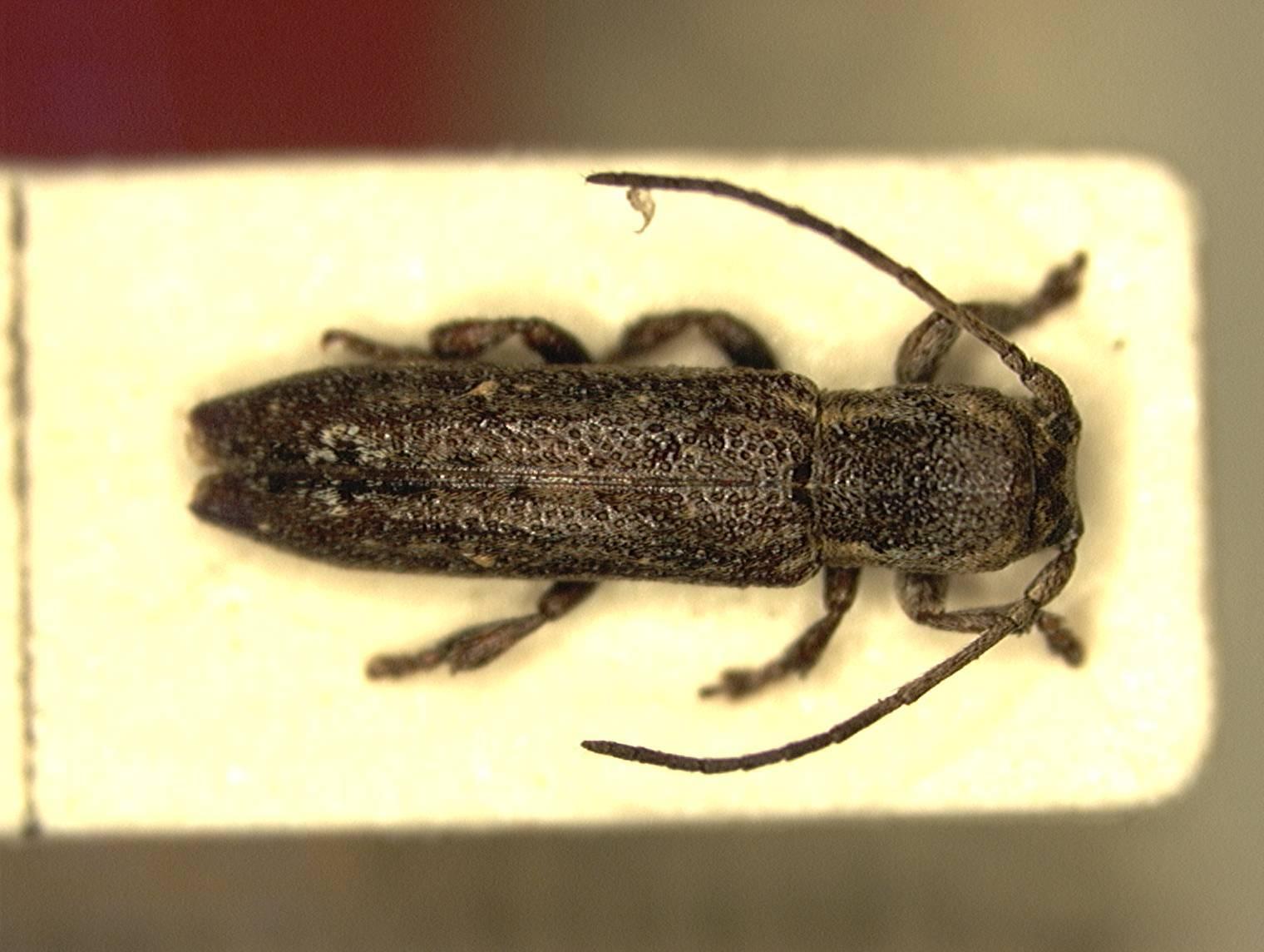 Image of <i>Adetus tibialis</i> Breuning 1943